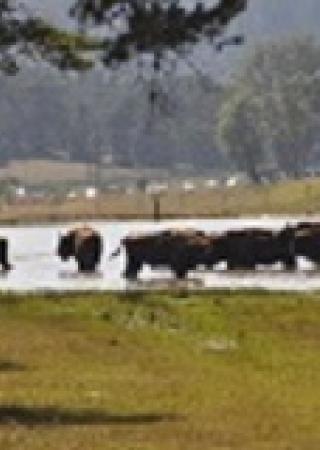 Les bisonà la Réserve des Monts d'Azur